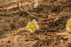 Plumeria στο έδαφος Στοκ φωτογραφία με δικαίωμα ελεύθερης χρήσης