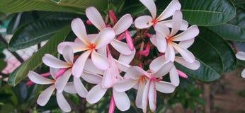 Plumeria στο δέντρο plumeria απόθεμα βίντεο