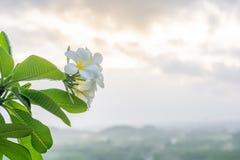 Plumeria στο δέντρο plumeria Στοκ φωτογραφία με δικαίωμα ελεύθερης χρήσης