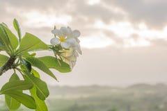 Plumeria στο δέντρο plumeria Στοκ Εικόνες