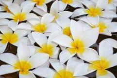 Plumeria στο ιερό νερό Στοκ Φωτογραφίες
