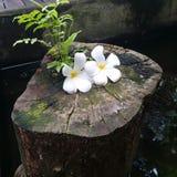 Plumeria στο κούτσουρο Στοκ Εικόνα
