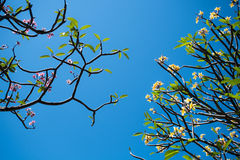 Plumeria στο μπλε ουρανό Στοκ Φωτογραφία