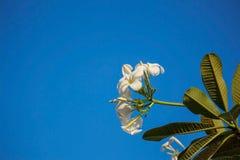 Plumeria στο μπλε ουρανό Στοκ Εικόνα