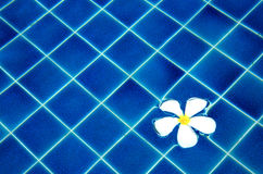 Plumeria στο μπλε υπόβαθρο νερού Στοκ εικόνα με δικαίωμα ελεύθερης χρήσης