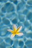 Plumeria στο νερό Στοκ Εικόνα