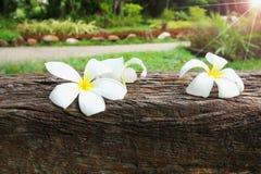 Plumeria στο ξύλινο υπόβαθρο Στοκ Εικόνες