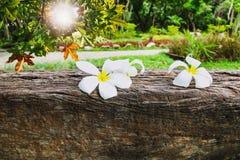 Plumeria στο ξύλινο υπόβαθρο Στοκ Φωτογραφία