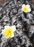 Plumeria στο ξύλο Στοκ φωτογραφία με δικαίωμα ελεύθερης χρήσης