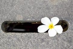 Plumeria στο πάτωμα τσιμέντου Στοκ εικόνα με δικαίωμα ελεύθερης χρήσης
