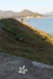 Plumeria στο πάτωμα τσιμέντου Στοκ φωτογραφία με δικαίωμα ελεύθερης χρήσης