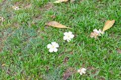 Plumeria στο πράσινο υπόβαθρο χλόης Στοκ Φωτογραφίες