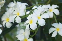 Plumeria στο φυσικό υπόβαθρο Στοκ φωτογραφία με δικαίωμα ελεύθερης χρήσης