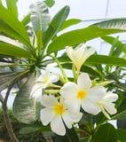 Plumeria, τα όμορφα άσπρα και κίτρινα λουλούδια στο δέντρο με τα πράσινα φύλλα Στοκ φωτογραφία με δικαίωμα ελεύθερης χρήσης