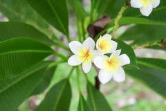 Plumeria τροπικό λουλούδι frangipani λουλουδιών άσπρο και ρόδινο Στοκ Φωτογραφία