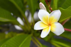 Plumeria τροπικό λουλούδι frangipani λουλουδιών άσπρο και ρόδινο Στοκ εικόνα με δικαίωμα ελεύθερης χρήσης