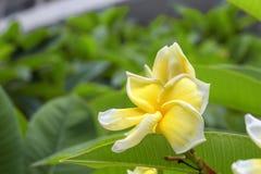 Plumeria τροπικό λουλούδι frangipani λουλουδιών κίτρινο και ρόδινο Στοκ φωτογραφία με δικαίωμα ελεύθερης χρήσης