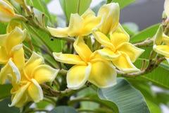 Plumeria τροπικό λουλούδι frangipani λουλουδιών κίτρινο και ρόδινο Στοκ Εικόνα