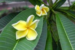 Plumeria τροπικό λουλούδι frangipani λουλουδιών κίτρινο και ρόδινο Στοκ Εικόνες