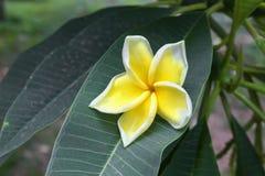 Plumeria τροπικό λουλούδι frangipani λουλουδιών κίτρινο και ρόδινο Στοκ εικόνα με δικαίωμα ελεύθερης χρήσης