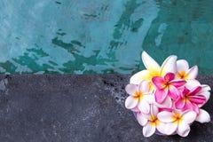 Plumeria τροπικό λουλούδι frangipani λουλουδιών ρόδινο και άσπρο, λουλούδι plumeria bloominge, λουλούδι SPA, νησί του Μπαλί Στοκ Φωτογραφίες