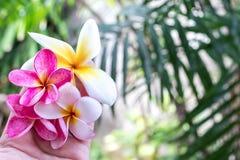 Plumeria τροπικό λουλούδι frangipani λουλουδιών ρόδινο και άσπρο, λουλούδι plumeria bloominge, λουλούδι SPA, νησί του Μπαλί Στοκ Εικόνα