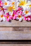 Plumeria τροπικό λουλούδι frangipani λουλουδιών ρόδινο και άσπρο, λουλούδι plumeria bloominge, λουλούδι SPA, νησί του Μπαλί Στοκ Εικόνες