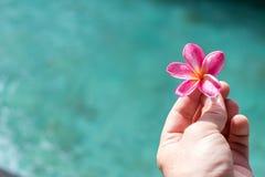 Plumeria τροπικό λουλούδι frangipani λουλουδιών ρόδινο και άσπρο, λουλούδι plumeria bloominge, λουλούδι SPA, νησί του Μπαλί Στοκ Φωτογραφία