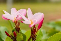 Plumeria τροπικό λουλούδι frangipani λουλουδιών ρόδινο και άσπρο, λοφίο Στοκ φωτογραφίες με δικαίωμα ελεύθερης χρήσης