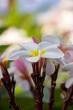 Plumeria τροπικό λουλούδι frangipani λουλουδιών ρόδινο και άσπρο, λοφίο Στοκ Φωτογραφίες