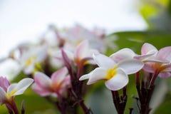 Plumeria τροπικό λουλούδι frangipani λουλουδιών ρόδινο και άσπρο, λοφίο Στοκ Εικόνες
