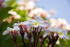 Plumeria τροπικό λουλούδι frangipani λουλουδιών ρόδινο και άσπρο, λοφίο Στοκ εικόνες με δικαίωμα ελεύθερης χρήσης