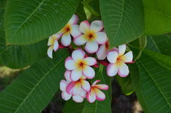 Plumeria τροπικό λουλούδι frangipani λουλουδιών ρόδινο και άσπρο Στοκ Φωτογραφίες
