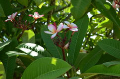 Plumeria τροπικό λουλούδι frangipani λουλουδιών ρόδινο και άσπρο Στοκ φωτογραφία με δικαίωμα ελεύθερης χρήσης