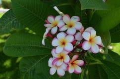 Plumeria τροπικό λουλούδι frangipani λουλουδιών ρόδινο και άσπρο Στοκ φωτογραφίες με δικαίωμα ελεύθερης χρήσης
