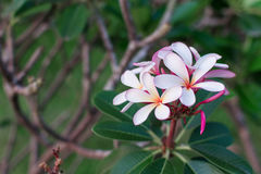 Plumeria τροπικό λουλούδι frangipani λουλουδιών ρόδινο και άσπρο Στοκ Εικόνες