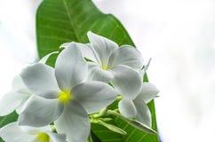 Plumeria, φύση, όμορφο άρωμα, όμορφο, ομορφιά Στοκ φωτογραφία με δικαίωμα ελεύθερης χρήσης