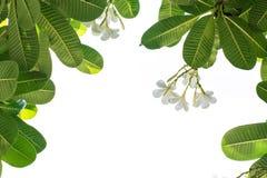 Plumeria φύλλων Στοκ Εικόνες