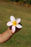 plumeria χεριών λουλουδιών Στοκ Φωτογραφίες