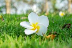 plumeria χλόης λουλουδιών πεδί& Στοκ Φωτογραφίες