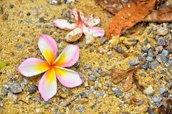 Plumeria Όμορφο ροζ Στοκ Εικόνες