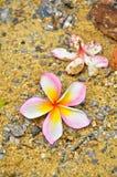 Plumeria Όμορφο ροζ Στοκ Φωτογραφία