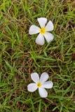 Plumeria δύο στη χλόη Στοκ Φωτογραφία