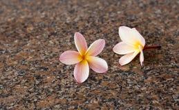 Plumeria δύο στο πάτωμα γρανίτη Στοκ Εικόνα