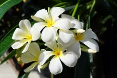 Plumeria белизны цветка Стоковое Изображение RF
