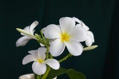 Plumeria белого цветка изолята красивый очаровательный Стоковое фото RF