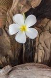 Plumeria белого цветка с старыми испеченными вазой глины и древесиной b тимберса Стоковая Фотография