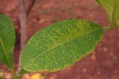 Plumeria выходит заболевание, болезнь растения стоковые изображения