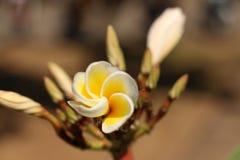 Plumeria в Таиланде Стоковое Изображение RF