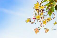 Plumeria или цветок frangipani, тропический цветок Стоковая Фотография